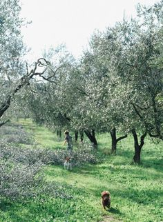 The olive harvest in Italy (near Rome)