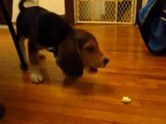 Beagle Puppy Freaks Out Over Popcorn - oh my goodness, reminds me of baby Porthos