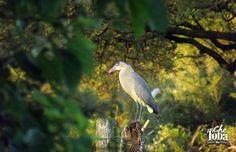 Foto de un Chiflón  - Su nombre en inglés Whistling Heron
