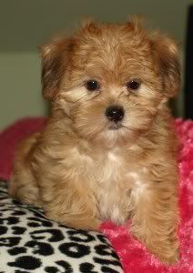 shorkie photo: shorkie puppy named Rudy rudy.jpg