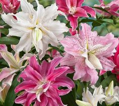 Quadrupled Flowered Oriental Lily. These quadrupled oriental lilies boast a rich, multilayered blossom that bring your garden to life for an irresistibly vibrant, varied display. Sweet Rosy=hot pinks, Magic Star=peppermint-like shades & scents. Distant Drum=tropical, deep rose & pink petals, ruffled edges & vibrant chartreuse accents. Broken Heart=dazzling constellation of ruby stars over lavender-pink petals. Blushing Girl=pastel watercolor-like hues. Innocent Lady=bright whites. Roberta's.