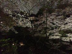 """The cherry tree of an """"Chidorigafuchi"""""""