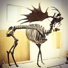 It's and weighing around pounds, rivaling a large moose in size, is Megaloceros giganteus, one of the largest known deer. Megaloceros's enormous antlers, some of which reached a. Prehistoric Wildlife, Prehistoric Creatures, Elk Drawing, Deer Skeleton, Irish Elk, Deer Species, Skeleton Anatomy, Animal Skeletons, Deer Family