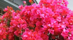 Flowering Vines: A Guide to Fast-Growing Climbers - Sunset Magazine Tropical Landscaping, Outdoor Landscaping, Tropical Garden, Tropical Flowers, Tropical Plants, Exotic Flowers, Landscaping Ideas, Air Plants, Garden Plants