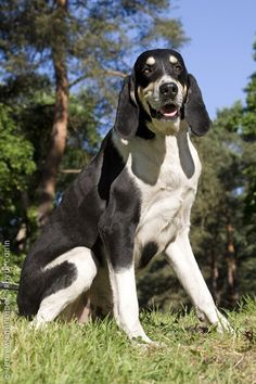Grand Anglo-Français Blanc et Noir. Used in hunting as a scenthound, usually in packs. #DogBreeds