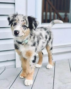 Super Cute Puppies, Cute Baby Dogs, Cute Little Puppies, Cute Dogs And Puppies, Cute Little Animals, Cute Funny Animals, Doggies, Big Dogs, Australian Shepherd Puppies