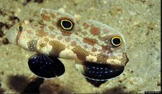 Signigobius biocellatus - another spectacular example of the over 500 gobies and blennies covered in the book - FISHES OF THE EAST INDIES ©Gerald Allen ~ Conservation International Saltwater Fish Tanks, Saltwater Aquarium, Aquarium Fish, Underwater Sea, East Indies, Little Fish, Ocean Creatures, Killer Whales, Ocean Life