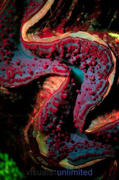 Giant Clam (Tridacna) fluoresces bright red  blue in ultraviolet light at night, Tondoba Bay, Red Sea, Egypt