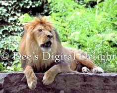 8x10 Lion 2 Photo Print Buffalo Zoo by DeesDigitalDelight on Etsy, $20.00