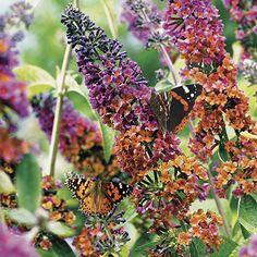 Buddleia 'Flower Power' Height 120cm Spread 60cm Plant Mar-Jun Flowers Jun-Sep