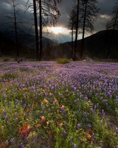 """""""The rising sun shines over El Capitan to illuminate a field of lupine in Yosemite National Park."""" Photo by Jeff Sullivan."""