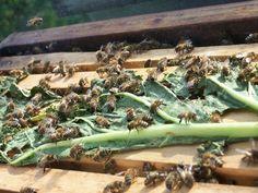 mettre une feuille de rhubarbe Les abeilles vont dévorer cette feuille et ainsi ingurgiter de l'acide oxalique contenu naturellement dans la feuille de rhubarbe. Le varroa n'aimant pas cet acide, il tombera naturellement des abeilles et il vous suffira de le récupérer sur le plateau de fond de ruche, vous limiterez ainsi l'avancée du parasite, et ce en faveur du développement de vos colonies d'abeilles.