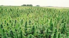 What's the Difference Between Hemp and Marijuana? ~ http://www.wakingtimes.com/2014/06/09/whats-difference-hemp-marijuana/