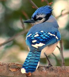 Blue Jay Adult Long blue tail with black bars and white corners Distinctive blue crest Blue, black, and white patterned wings Blue back