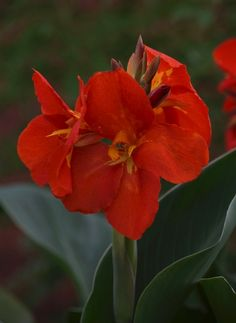 45a986922670 All-America Selections 2013 Winner Canna  South Pacific Scarlet  F1 Yellow  Perennials