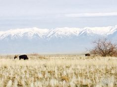 Bison Grazing, Antelope Island State Park Utah