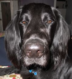 Jack Ellard Houston- Flat Coated Retriever