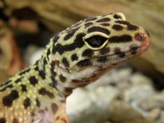Names for Leopard Geckos