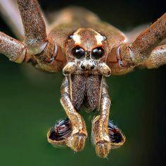 839 отметок «Нравится», 41 комментариев — Michael (project Maratus) (@michael_doe_project_maratus) в Instagram: «net casting spider - Deinopsis subrufa Central Coast, NSW. Australia»