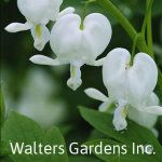 Old-fashioned White Bleeding Heart - Dicentra spectabilis 'Alba' All Plants, Water Plants, Part Shade Perennials, Companion Gardening, Astilbe, Sun Shade, Shade Garden, Cut Flowers, Gardens