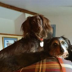 Eight-pawed destruction team - i love these guys Silky Terrier, Sausage Dogs, Doggy Stuff, Dachshund Love, Weiner Dogs, Cavalier King Charles, Wonders Of The World, United Kingdom, Mom