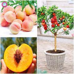 Peach Bonsai Tree Eat Delicious Juicy Meaty Fruit Diy Courtyard for Home Garden Pot Plants Semillas 2pcs