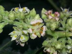 Mango blooms 5