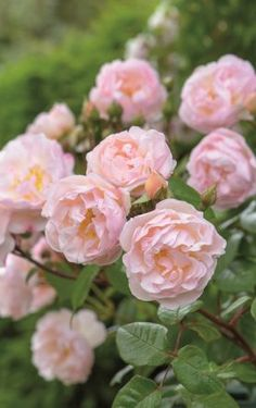 Rose 'The Lady of the Lake'