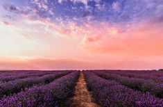 Photo Lavender Flower Field Under Pink Sky · Free Stock Photo Lavender Fields, Lavender Flowers, Flowers Nature, 1366x768 Wallpaper, 3d Foto, Essential Oils For Stress, Les Themes, Felder, Pink Sky