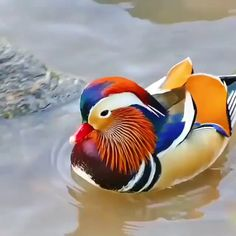 Beautiful Mandarin duck - 9GAG