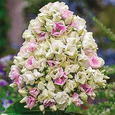 in Bareroot Creme De La Creme Garden Phlox at Lowe's. Creme De la creme Phlox has outstanding form, long-lasting flowers and sweet fragrance. A sun-loving perennial that grows 30 to 36 In. Phlox Flowers, Shade Flowers, Bulb Flowers, Pink Flowers, Flowers Garden, Pink Garden, Flower Gardening, Dahlias, Hydrangeas