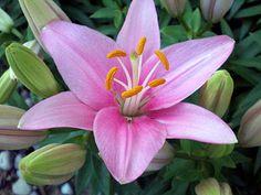Asiatic Lily - Tiny Icon