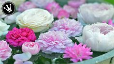 Rosen im Juni-August durch Stecklinge vermehren/selber ziehen | Tutorial