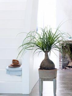 Elefantenfuß ist Zimmerpflanze des Monats – Pflanzenfreude.de