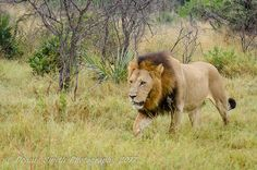 One of a two-lion coalition that has moved back to Hunda Island Reptiles, Mammals, Beautiful Lion, Okavango Delta, Wilderness, Safari, Camping, Tours, Island