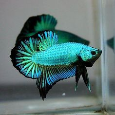 Blue Plakat Betta Fish