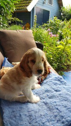 Biggles My Orange And White English Cocker Spaniel Puppy 9 Weeks Old Cockerspaniel Hunde