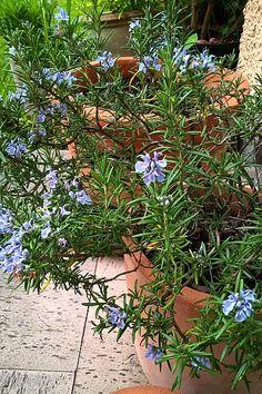 Blühender Rosmarin auf der Terrasse