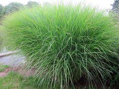 Feinhalm-Chinaschilf Gras Miscanthus sinensis Gracillimus Ziergras Zierliches Chinaschilf Pflege Schnitt Schmalblättriges Chinaschilf Vermehrung Standort