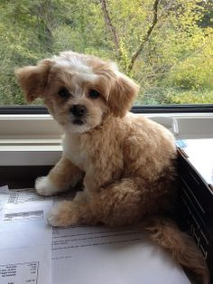 """Ewok proshness"" Shih Tzu + ""fro-tastic"" Bichon Frise. Are you ready for both at the same time? Meet Cooper the Shichon. 2"