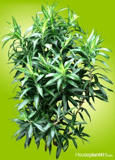 Dracaena reflexa houseplants have short, narrow, pointed leaves spirally arranged. Care tips: http://www.houseplant411.com/houseplant/dracaena-reflexa-plant-care-tips