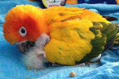 A baby sun conure and mom.   (Re-pinned from Pinterest.)