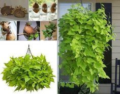 How to Grow Sweet Potato Vines This Sweet Potato Vine plant looks fantastic and is an easy project f Sweet Potato Plant Vine, Potato Vine Planters, Sweet Potato Flower, Sweet Potato Vines, Hyacinth Bean Vine, Moonflower Vine, Growing Sweet Potatoes, Planting Potatoes, Pot Jardin