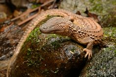 Lanthanotus borneensis. The Earless Monitor Lizard