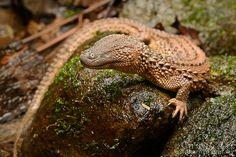 Lanthanotus borneensis. The Earless Monitor Lizard