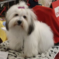 Coton de Tulear, Beautiful dogs and they don't shed which is great! Very expensive dogs!