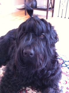 Stoli :) Black Russian Terrier