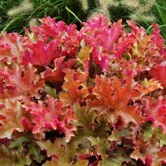 Heuchera 'Patchwork' Mix - Perennial & Biennial Plants - Thompson & Morgan