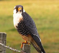 Aves Australes: Halcón Perdiguero Emergency Vehicles, Birds Of Prey, Raptors, Beautiful Birds, Pet Birds, Trinidad, Patagonia, Feathers, Flora