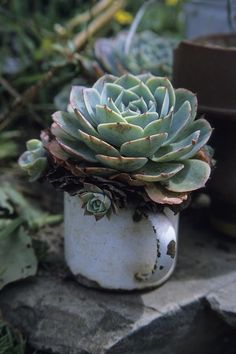 rosette succulent planted in old enameled coffee mug